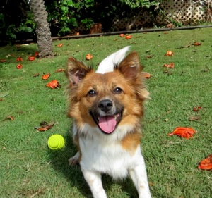 Sparky--a Maui Humane Society shelter dog, adopted in Oregon, through Wings of Aloha