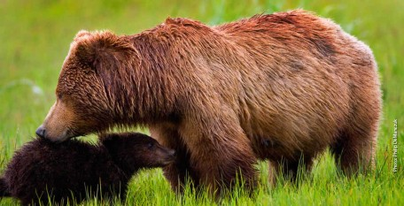 Grizzly Bear Mama and Cub Photo: Vital Ground/Philip DeManczuk