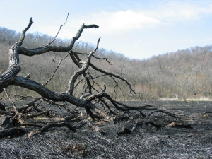 burned charred fallen tree with wooded backdrop