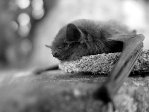 B&W bat