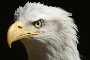 close-up shot of endangered Bald Eagle head