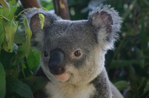 close up of koala face