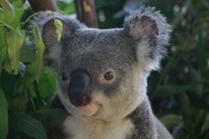 close up of koala face
