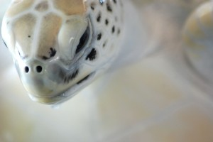 close up on face of pale sea turtle