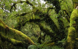 mossy trees of rainforest