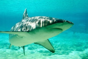 shark turning in shallow dappled water
