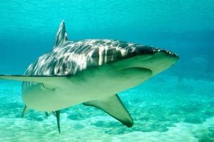 shark turning in shallow dappled water
