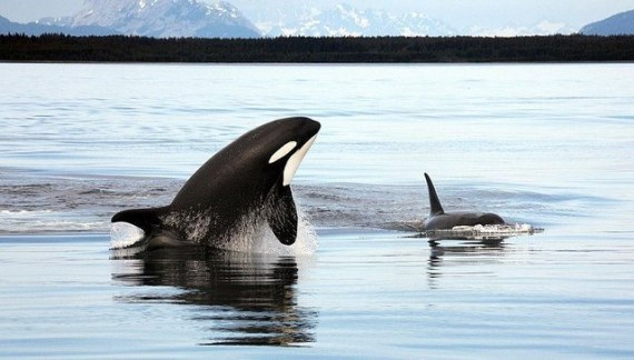 adult and young orcas in wild