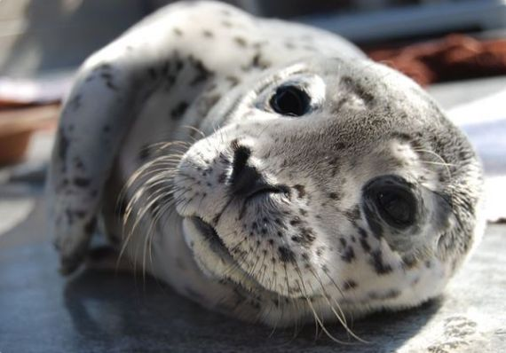 seal pup close up
