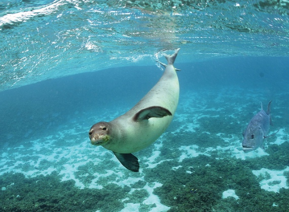 underwater shot of endangered Hawaiian monk seal